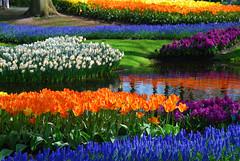 Keukenhof - Holland (Giuseppe Finocchiaro) Tags: flowers holland primavera netherlands spring colours fiori colori olanda keukenhof paesibassi colorphotoaward mygearandme