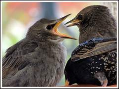 Young Starling 03a (Magic Moments by Pippa) Tags: nature birds wildlife young british chicks starlings naturesfinest