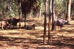 Water buffalo in Territory  Wildlife Park  Darwin  1995 (D70) Tags: park slr water canon buffalo scanner wildlife australian australia darwin scanned 1995 northern canoscan territory nikonf801 860f nikkorfafzoom2885f35f45 fujifilmfujichromevelviarvp100colorslidefilm