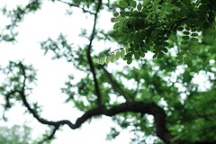 Reaching for the light (Phototropy) Tags: trees light sky tree leaves leaf branch bokeh pov branches perspective phototropism phototropy