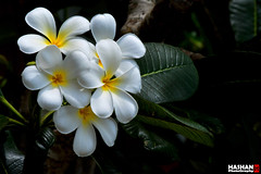 Temple Flower 03 (Hashan Photography) Tags: flowers flower photography plumeria srilanka blooms araliya templeflower hashan flowersinsrilanka hashanphotography
