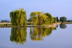 Alle fronde dei salici () Tags: trees light water field alberi reflections landscape photography photo foto photographer rice photos willow fotografia acqua riflessi weeping babylon willows luce paesaggio stefano fotografo salice salix risaia trucco risaie fiields babylonica piangente salici zush d7100 piangenti 70200vrii stefanotrucco