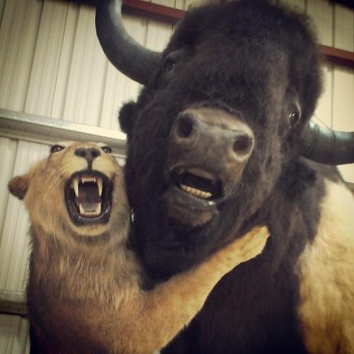 #Beringia  selfie: American Lion hugs Steppe Bison #iceage #Yukon #cariboucrossing