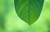 Green Leaf Green Blend 1 of 2 (Orbmiser) Tags: green oregon portland leaf spring nikon blend d90 55200vr