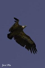 Voltor (Formatgero) Tags: naturaleza nature canon aves alicante vulture alcoy alcoi scavengers buitre leonado vuelo alacant voltor fapas carroeros avescarroeras