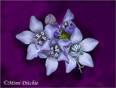 Gilia Wildflowers (Mimi Ditchie) Tags: flowers flower macro getty wildflowers gettyimages gilia mimiditchie mimiditchiephotography