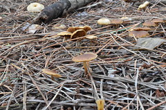 DSC_0693 (caudlewl) Tags: mcculloughpark mushrooms mn