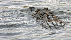 See Ya' Later........ (jrussell.1916) Tags: alligator wildlife nature water swimming canon400mmf56lusm northcarolina eyes