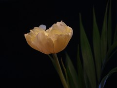 2013-02-15 S9 JB 57482#co (cosplay shooter) Tags: tulip tulpe x201610 201302 100b fiora flora blume blte blossom flower fleur