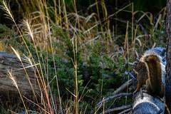 _DSC8213 (DianeBerky19) Tags: nikondf wy jacksonholewyoming yellowstonenationalpark squirrel