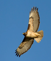 Red-tailed Hawk (Sarbhloh/Harjeet) Tags: 7d garinregionalpark canon500f4is