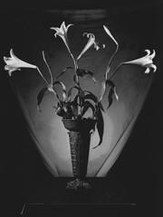 Suprema Lux 08 (Gianfranco Sigismondi) Tags: flowers bw stilllife white black darkroom dark gothic bn fiori negativo nero biancoenero buio dunkelkammer positivo scuro naturamorta contrasto chimica sviluppo 25iso ingrandimento mamiyarz67 cameraoscura medioformato ingranditore mascheratura baritata fissaggio metodozonale bagnodarresto