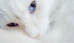 Catish (Jaim Oliveira) Tags: blue brazil cats white beauty branco azul brasil cat eyes gorgeous blueeyes portoalegre gatos olhos gato olho cateyes rs ricoh whitecat riograndedosul azuis olhosazuis catish catlook gatobranco gx200