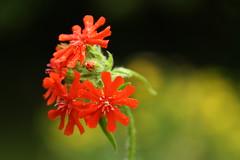Brennende Liebe (im_fluss) Tags: red flower rot yellow blossoms gelb blume hypericum blten lychnis saintjohnswort johanniskraut brennendeliebe