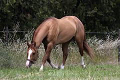 Smooking Twister (G.NIRO Photography) Tags: horses cheval western stallion quarterhorse chevaux equitation etalon mhqh