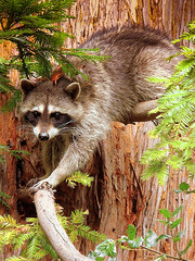 raccoon racoon redwoodtree climbingraccoon raccooninatree dawnspet