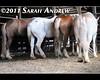 Very Important Draft Board Meeting (Rock and Racehorses) Tags: horses meeting belgian pow brabant workhorse workhorses percheron pow2011 ska4249