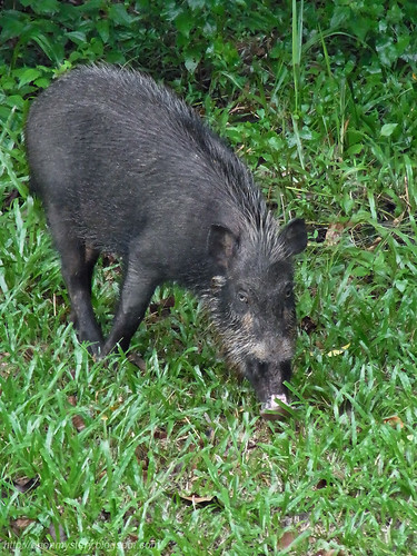 wild boar at maliau basin R0011995 copy