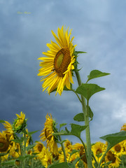 girasole (Franco Marconi) Tags: italy green nature yellow closeup landscape europe italia gallery mood fuji s paisagem sunflowers finepix sunflower fujifilm   landschaft  fujinon girasole marche paesaggio franco processor sensor marconi ascoli sonnenblume girasoli landskap vincentvangogh  cupra lemarche ascolipiceno  piceno f20 roisoleil cupramarittima cmos 2011 x100    landslag fujifilmfinepix exr apsc fujix  iphonewallpaper iphonewallpapers iphonebackground francomarconi fujifilmx100 finepixx100 fujix100 fujifilmfinepixx100 detournesol x100 fujinon23mmf20 fujinon23mm fujinonf20