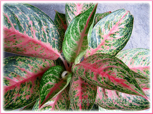 Beautiful variegated foliage of Aglaonema cv. Legacy, new addition to our tropical garden in June 2011