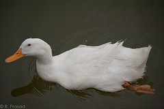 Bengaluru Ducks (Roy Prasad) Tags: california travel summer vacation india holiday spring nikon dof bokeh delhi bangalore nikkor prasad 28300mm afs newdelhi bengaluru d700 royprasadusa