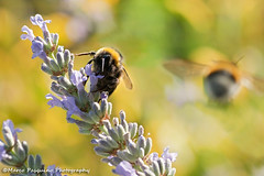 I'm coming!!!! (Marco Pasquino) Tags: flowers italy flower color macro closeup canon photography photo spring photos natura bee micro ape fiori fiore insetti wow1 wow2 ringexcellence galleryoffantasticshots
