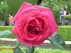Granada Alhambra Generalife rosa 1 (ferlomu) Tags: alhambra ferlomu granada generalife rosa flower