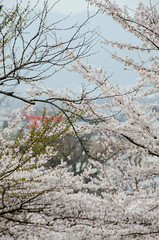 Japan - Kyoto - 8723 (system slave) Tags: flowers trees white japan cherry photography spring kyoto blossom full bloom april sakura pinksakura systemslave andreimakarov