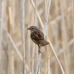 Swamp-Sparrow-IMG_5945-Crop (mandovinnie) Tags: