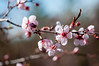 cherry blossoms (Sam Scholes) Tags: flowers nature closeup digital garden cherry utah nikon pretty blossoms saltlakecity d300 floweringtree redbuttegarden