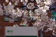 Cherry Blossom (tttske_C) Tags: japan nagoya 桜 cherryblossom aichi fujigaoka 愛知県 名古屋市 藤が丘 名東区