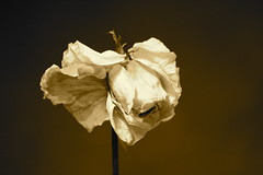 dried rose sepia I (L'essentiel est invisible pour les yeux.) Tags: roses color macro rose sepia canon rosa dried seppia driedrose