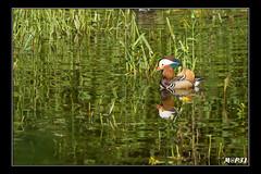 Canard Mandarin (M@P31) Tags: france aixgalericulata hautegaronne confluent canardmandarin sonya77 mai2012