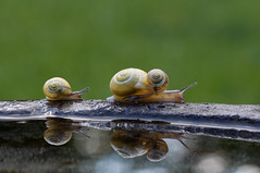 "Snail family (le cabri) Tags: family 3 macro reflection cute green water rock mom reflecting three ride path mommy snail riding snails escargot cabri ""martin photo"" ""cabri cauchon"""