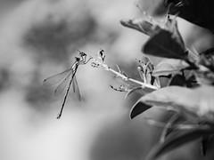 Agrion en attente. (steph20_2) Tags: agrion panasonic gh3 lumix m43 52bb tamron sp90 monochrome monochrom macro proxy closeup insecte insect noir noiretblanc ngc blanc black bw white skanchelli