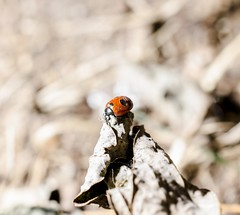 (smp A-town) Tags: staticmotion photography animals insects macro autumn ladybug bug luck marienkfer
