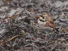 """Northern Horned Lark"" (alpestris), Crescent Beach (Bill Bunn) Tags: hornedlark capeelizabeth maine"