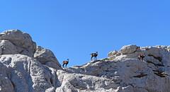 divokoza (Rupicapra rupicapra / Chamois / Gmsen) (Hrvoje aek) Tags: kiza dabarskikukovi dabarcliffs velebitnaturepark parkprirodevelebit velebit parkprirode naturepark priroda nature planina mountain planine mountains stijena rock stijene rocks litica cliff litice cliffs kuk kukovi jesen autumn divokoza rupicaprarupicapra chamois gmsen sisavac ivotinja divokoze animal mammal pejza landscape panorama planinarenje hiking hrvatska croatia kroatien croazia lika d3300 ivotinje animals wildlife
