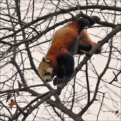 Climbing Red Panda (Foto Martien (thanks for over 2.000.000 views)) Tags: bear red brown white beer germany zoo oso firefox asia bhutan cologne kln redpanda himalaya yunnan sichuan assam rood wit sikkim katzenbr duitsland br orso bruin ours ailurusfulgens dierentuin keulen dierenpark pandarosso kleinepanda lesserpanda klnerzoo southernchina pandarojo catbear himalays pandaroux petitpanda specanimal rodepanda pandaclatant duitschland a550 pandafuligineux rotepanda pandamenor southerntibet katbeer martienuiterweerd martienarnhem sony70300gssmlens sonyalpha550 westernnepal martienholland northernmyanmar fotomartien hoh aktiengesellschaftcolognezoologicalgarden zooofcologne zoologischegartenkln