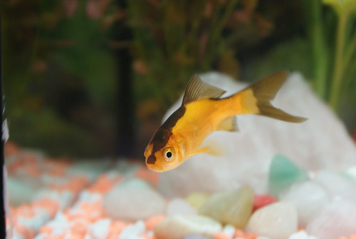 Goldfish Stripe