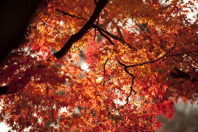 Japanese Maple - Acer palmatum ssp palmatum
