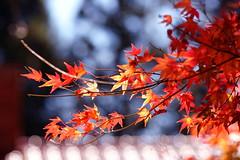 - Love maple leaves - Fushoushan Farm (prince470701) Tags: taiwan fushoushanfarm  sonya850 sony135zaf18 lovemaple