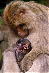 Mother and Baby Barbary Macaque (Foto Martien) Tags: africa france zoo monkey algeria frankreich child kind atlasmountains alsace marocco frankrijk gibraltar a100 magot motherandbaby elsas monkeymountain elzas barbaryape hautrhin barbarymacaque kintzheim berberaap macacasylvanus sigmaapomacro70300 affenberg montagnedessinges berberaffe sonyalpha100 macaqueberbre apenberg moederenbaby martienuiterweerd martienarnhem mygearandmepremium mygearandmebronze mygearandmesilver mygearandmegold fotomartien