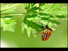 Petite coupe (Kader Lagraa) Tags: light orange black macro ex beautiful beauty composition contrast insect photography photo amazing interesting nikon shot image feel sigma charming capture share learn lense sense kader 150mm d90 graphosoma lineatum abdelkader lagraa klagraa