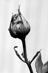 Dying Rose (shaire productions) Tags: autumn winter bw plants plant flower fall nature floral rose season dead death photo blackw