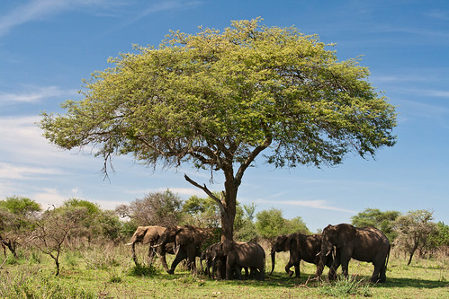 africa tanzania wildlife safari serengeti tarangire acaciatree