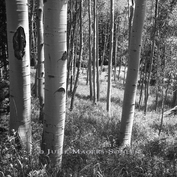A black and white photo of an aspen meadow in the Rocky Mountains of Colorado.