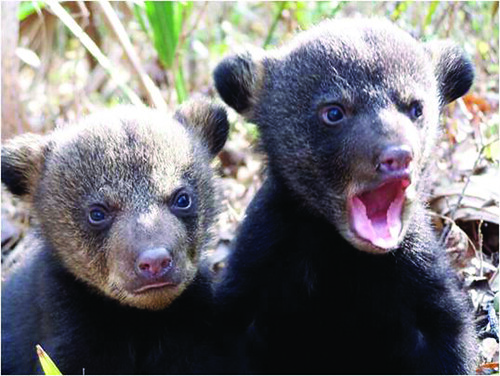 Louisiana black bear cubs.