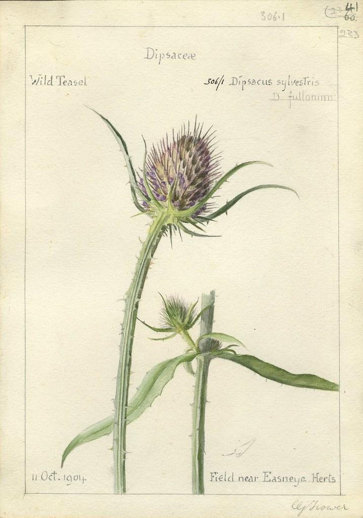 Dipascus sylvestris, Herts. 1904