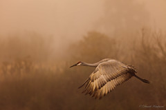 Foggy crane departure (shutterbugdan) Tags: park b bird weather fog bar circle inflight florida crane reserve explore lakeland sandhill sandhillcrane polkcounty explored circlebbarreserve